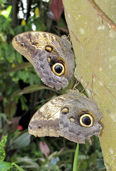 Photograph - Owl Butterflies by Bob Slitzan