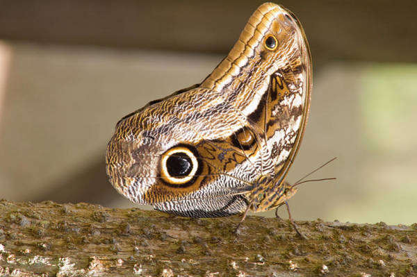 Aviary Photograph - Owl Butterfly, Butterfly Aviary, Agua by Howie Garber