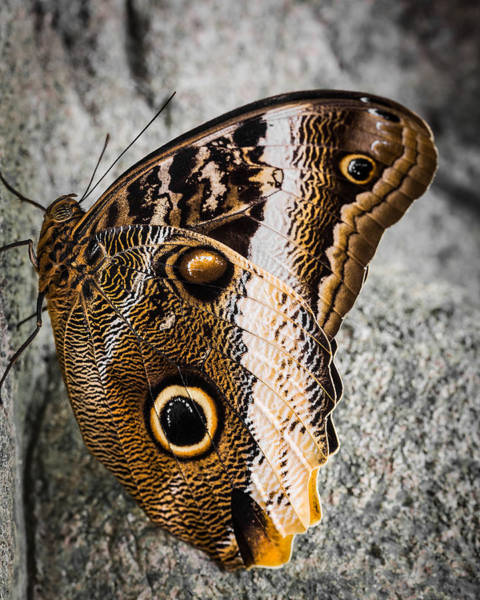 Wall Art - Photograph - Owl Butterfly by Dale Kincaid