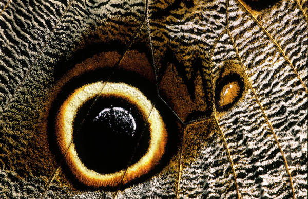 Wall Art - Photograph - Owl Butterfly Eyespot by Nigel Downer