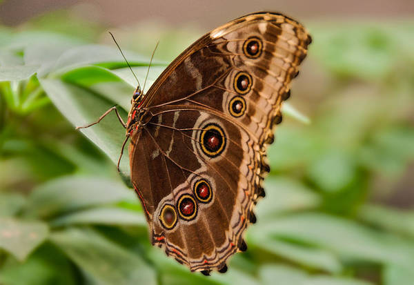 Photograph - Owl Butterfly by Mae Wertz