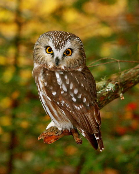 Aroostook Photograph - Owl Img_3156.1 by Oms
