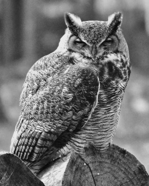 Photograph - Owl In Black And White by John Feiser