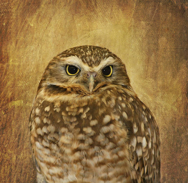 Photograph - Owl by Kim Hojnacki