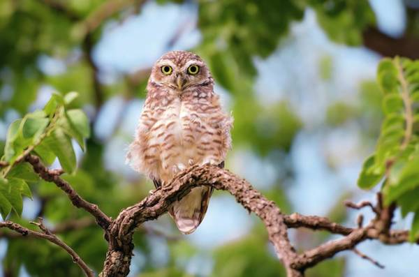 Bird In Tree Photograph - Owl by Ktsdesign
