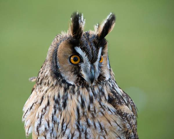 Photograph - Owl Portrait by Dennis Dame