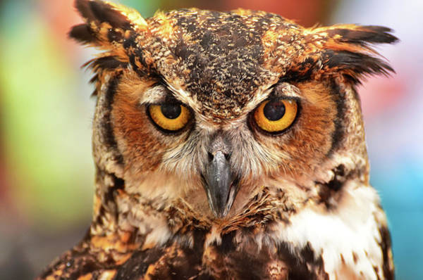 Staring Photograph - Owl Stares  At Camera by Jeff R Clow