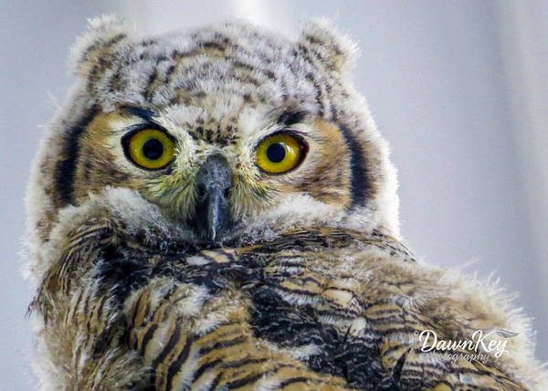 Photograph - Owlet Close-up by Dawn Key