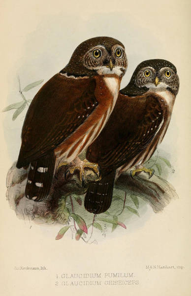 Owl Painting - Owls by Dreyer Wildlife Print Collections