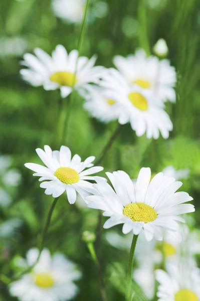 Wall Art - Photograph - Ox-eye Daisies (leucanthemum Vulgare) by Gustoimages/science Photo Library