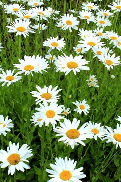 Wall Art - Photograph - Ox-eye Daisies (leucanthemum Vulgare) by John Wright/science Photo Library