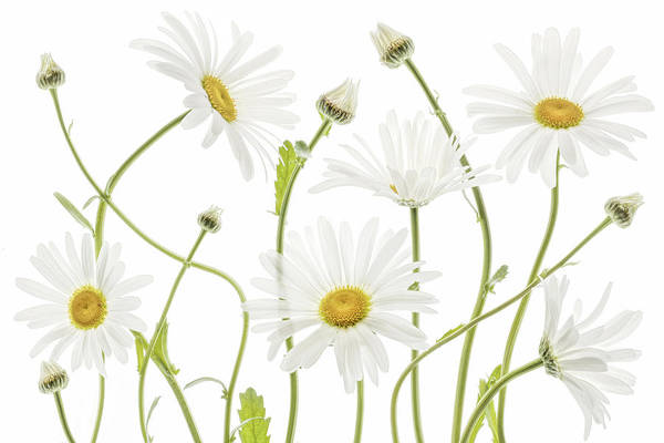 Daisy Flower Photograph - Ox Eye Daisies by Mandy Disher