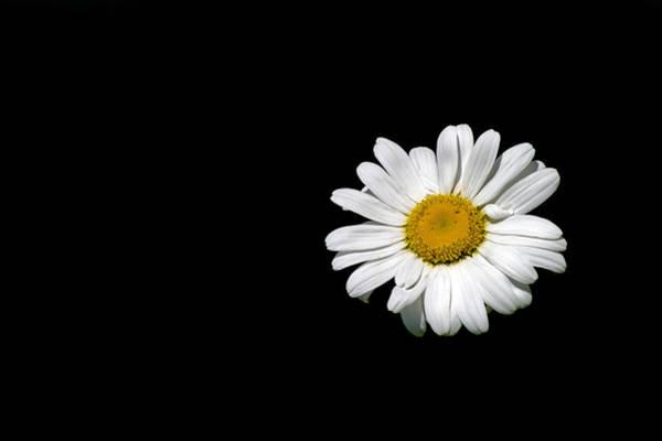 Photograph - Ox-eye Daisy by Torbjorn Swenelius
