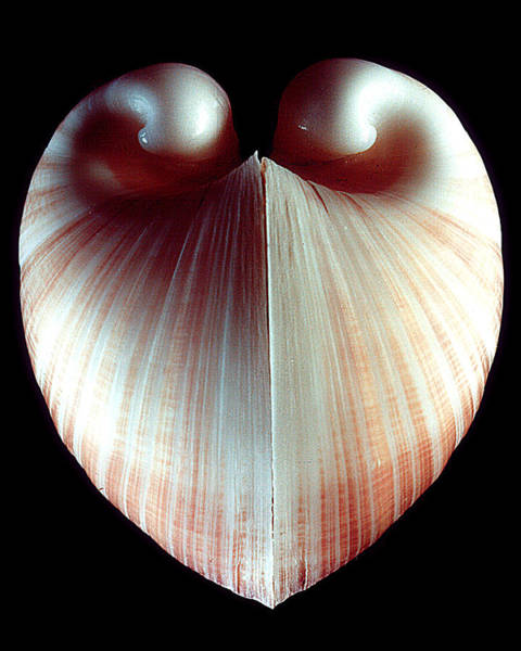 Wall Art - Photograph - Ox Heart Clam Color by William A Conklin