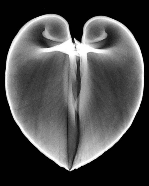 Wall Art - Photograph - Ox Heart Clam Xray by William A Conklin