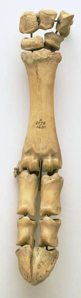 Hoof Photograph - Ox Skeleton by Dorling Kindersley/uig