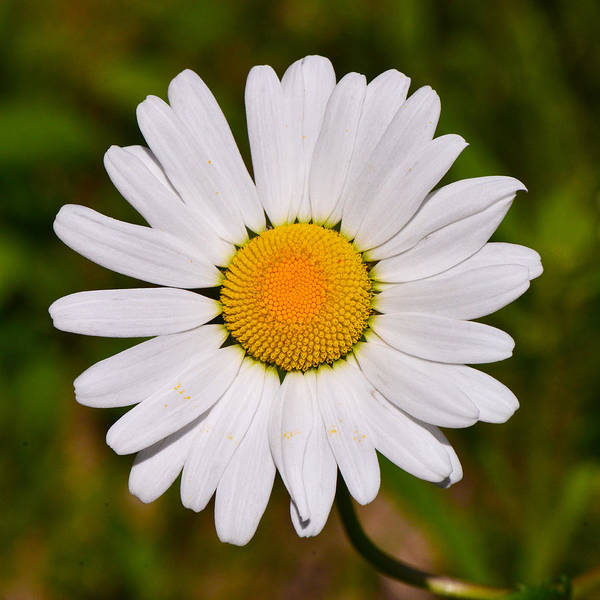 Photograph - Oxeye Daisy by Ken Stampfer