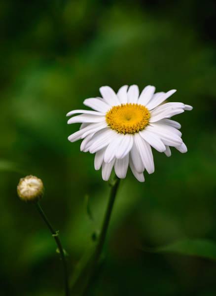 Photograph - Oxeye Daisy by Robert Mitchell