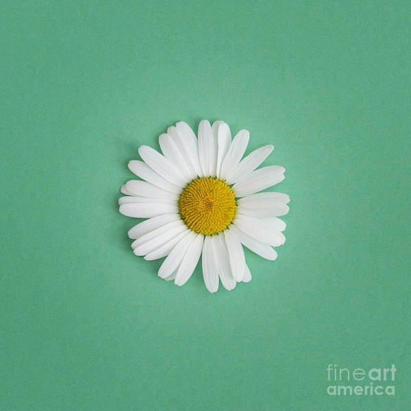 Moon Flower Photograph - Oxeye Daisy Square Green by Tim Gainey