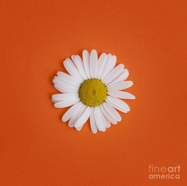 Moon Flower Photograph - Oxeye Daisy Square Orange by Tim Gainey