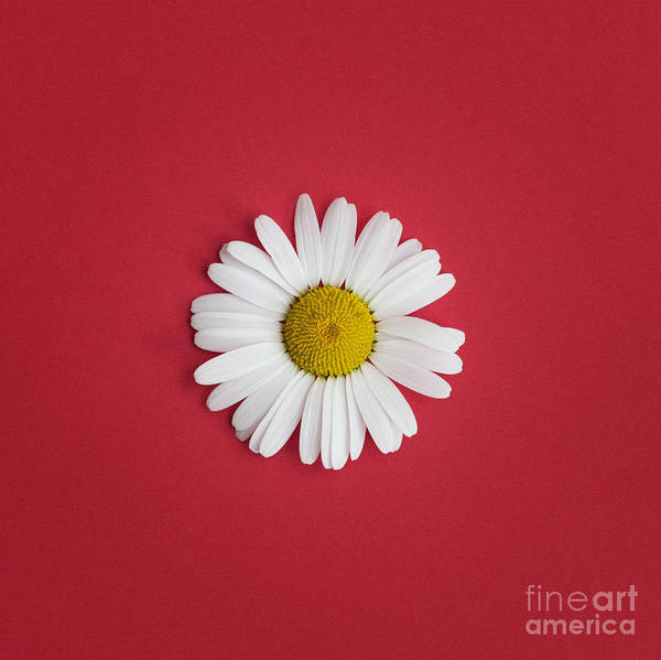 Moon Flower Photograph - Oxeye Daisy Square Red by Tim Gainey