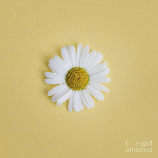 Moon Flower Photograph - Oxeye Daisy Square Yellow by Tim Gainey