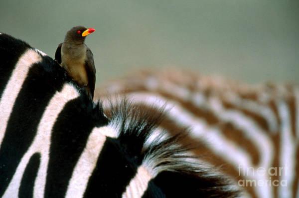Equus Africanus Photograph - Oxpecker On Zebra by Art Wolfe