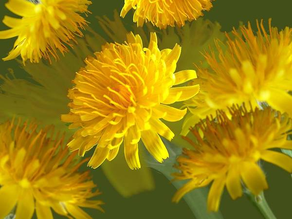 Photograph - Oxtongue Blossom Montage by David Rich