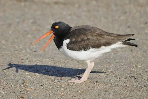 Photograph - Oyster Catcher Calling by Bradford Martin