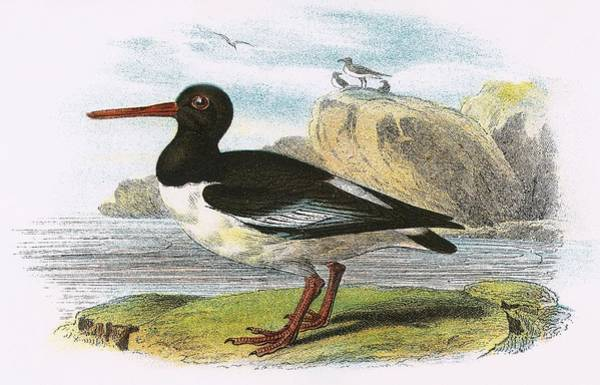 Ornithology Photograph - Oyster Catcher by English School