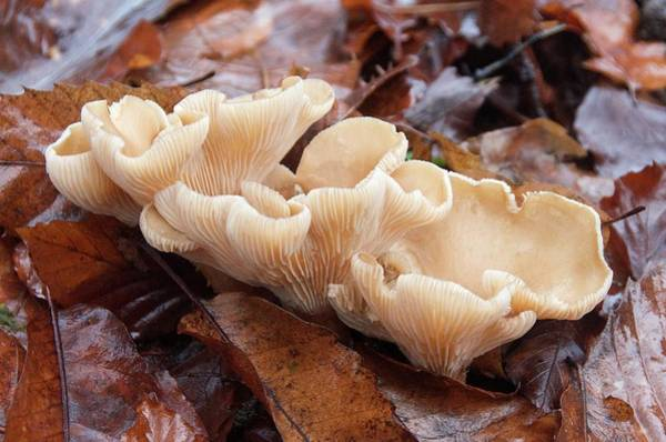 Gill Photograph - Oyster Fungus by Sinclair Stammers