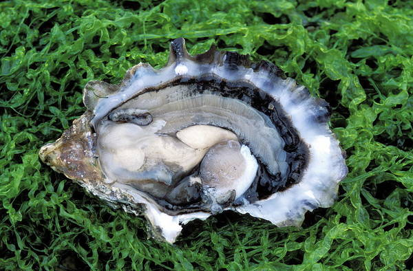 Seafood Photograph - Oyster by Pascal Goetgheluck/science Photo Library