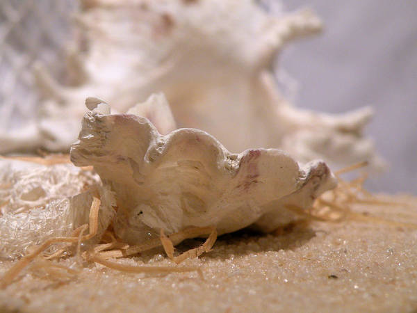 Photograph - Oyster Shell by Micki Findlay