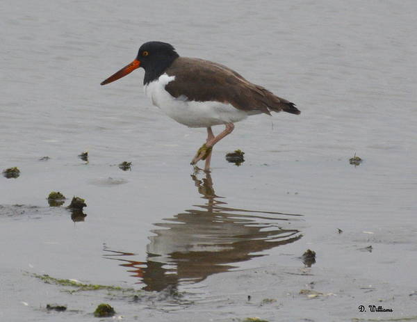 Photograph - Oystercatcher At Low Tide by Dan Williams