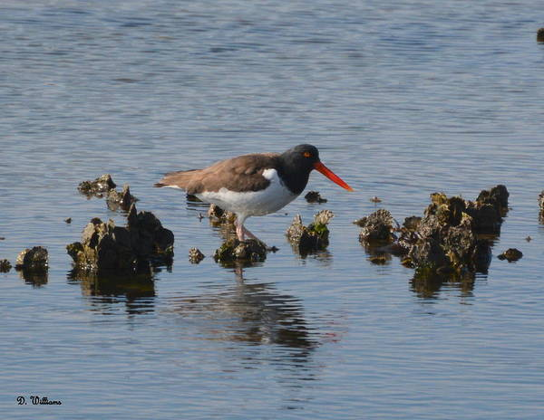 Photograph - Oystercatcher by Dan Williams
