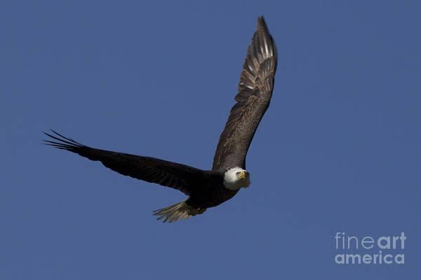 Photograph - Ozzy In Flight by Meg Rousher