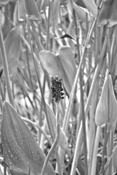 Photograph - Pa. Wildflower B W Pla 608 by G L Sarti