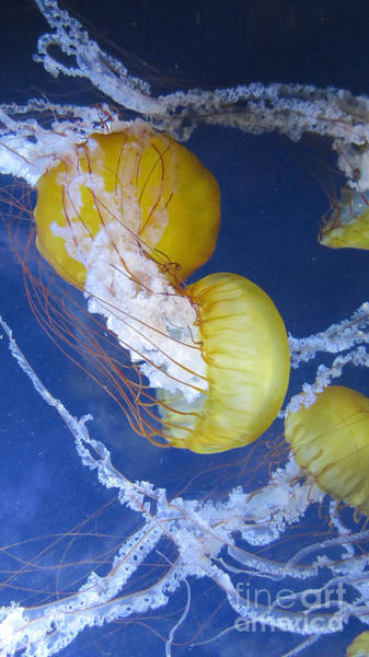 Photograph - Pacfic Jellyfish by Mary Mikawoz