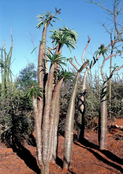 Native Plant Photograph - Pachypodium Geayi by Jennifer Fry/science Photo Library