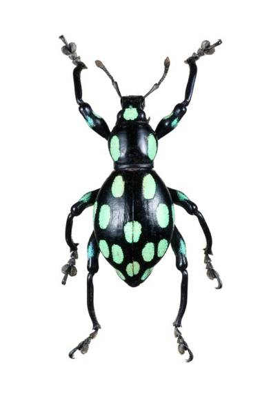 Wall Art - Photograph - Pachyrhynchus Weevil by Lawrence Lawry