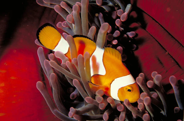 Wall Art - Photograph - Pacific Clownfish by Nancy Sefton