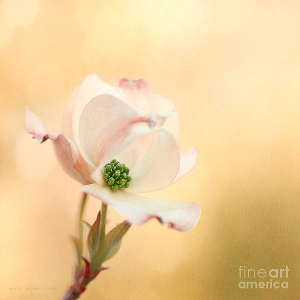 Photograph - Pacific Dogwood by Beve Brown-Clark Photography