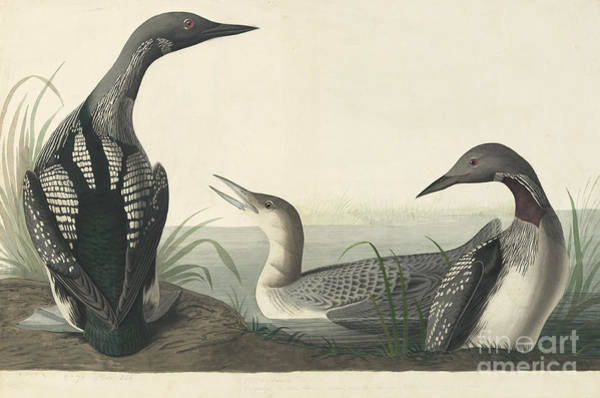 Drawing - Pacific Loon  by Celestial Images