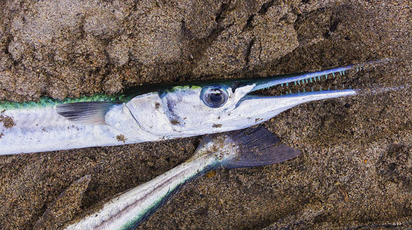 Fish Scales Photograph - Pacific Needlefish by Aged Pixel
