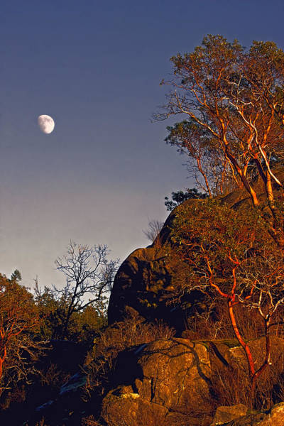 Photograph - Pacific Northwest Madrones And Moon by Peggy Collins
