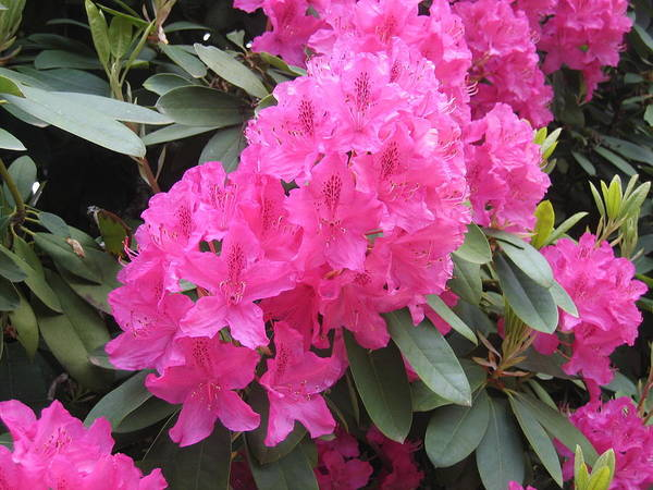 Wall Art - Photograph - Pacific Northwest Rhododendrons by Pat Yager