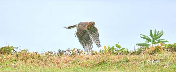 Photograph - Pacific Northwest Sharp - Shinned Hawk by Tap On Photo