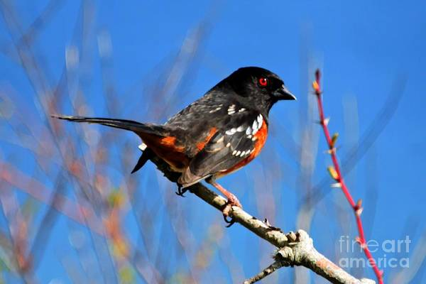 Photograph - Pacific Northwest Towhee Bird by Tap On Photo
