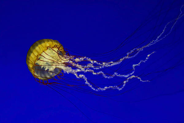 Jellyfish Photograph - Pacific Sea Nettle by Mark Kiver