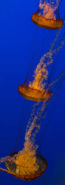 Photograph - Pacific Sea Nettles In A Row by Scott Campbell